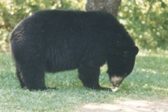 bear_eating