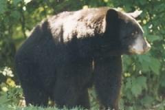bear_walking